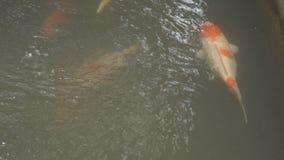 Tilapia υποβρύχιο σε ένα αγρόκτημα ψαριών φιλμ μικρού μήκους