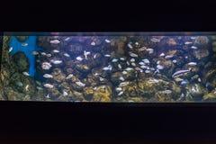 Tilapia ψάρια στο νέο oceanarium στοκ φωτογραφία