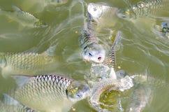 Tilapia łasowania rybi jedzenie. Obrazy Stock