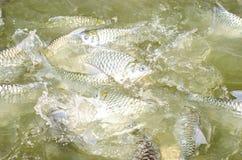 Tilapia łasowania rybi jedzenie. Fotografia Stock