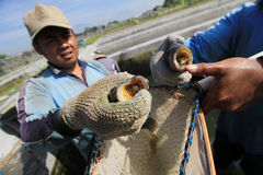 Tilapia breeders Royalty Free Stock Image