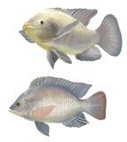 Tilapia de poisson d'eau douce image stock