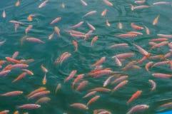 Tilapia di Nilo nei fishs dello stagno Fotografie Stock Libere da Diritti