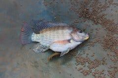 Tilapia en vissen Cichild Stock Foto