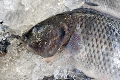 Tilapia exposed in fish market Royalty Free Stock Photography