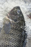 Tilapia exposed in fish market Stock Images