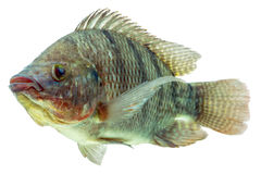 Tilapia-Fisch-Profil Lizenzfreies Stockfoto
