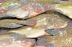 Tilapia Fish. Close up shot of freshly caught tilapia fish royalty free stock photo