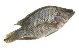 Tilapia Fish. Fresh tilapia fish; isolated on white background royalty free stock photo