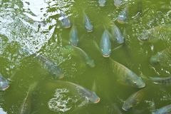 Tilapia fish stock image