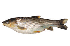 Tilapia fish. Isolared over white background stock photos