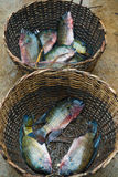 Tilapia Fish in basket. Fish for sale at Epe Fish Market in Lagos, Nigeria stock photography