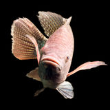 Tilapia Fish Close Up. High Quality Shot Of A Large Tilapia Fish About Five Pounds royalty free stock photography