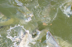 Tilapia fish eating food. Tilapia fish eating food in the pool stock image