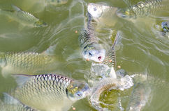 Tilapia fish eating food. Tilapia fish eating food in the pool Stock Images