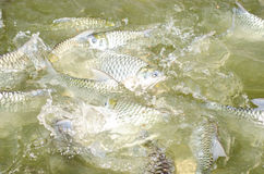 Tilapia fish eating food. Tilapia fish eating food in the pool Stock Photography
