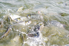 Tilapia fish eating food. Tilapia fish eating food in the pool royalty free stock image
