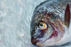 Tilapia/fish/Eyes. Tilapia/fish/Eyes of fish/Oreochromis /Dead fish Stock Images