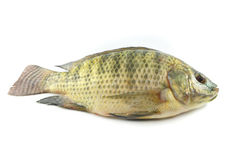 Tilapia Fish. Fresh tilapia fish; on white background royalty free stock photos