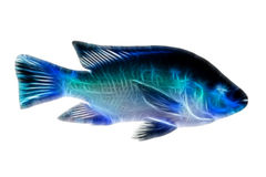 Tilapia Fish Illustration. High Quality Shot Of Red Tilapia Fish Underwater Studio Aquarium Shot Isolated On Black royalty free stock photos