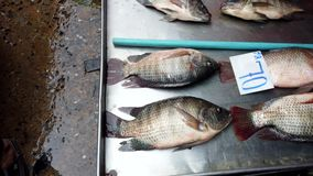 Tilapia Fish Lie in Dry Pan With Gills Working Waiting To Be Sold For Dinner.  stock footage