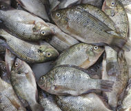 Tilapia fish in market. Group of Tilapia fish in market royalty free stock photos