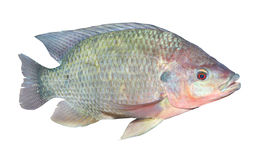 The Tilapia fish (Oreochromis mossambicus). The Tilapia fish (Oreochromis mossambicus) isolated on white. The tilapiines are the very important commercial fish stock photos