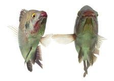 Tilapia Fish Pair Royalty Free Stock Photos