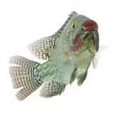 Tilapia Fish Profile Royalty Free Stock Photography