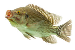 Tilapia Fish Profile Stock Image