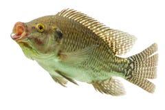 Tilapia Fish Profile Stock Image