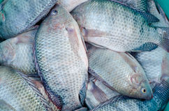 Tilapia fish. For sale in market, Thailand stock photos