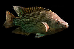 Tilapia Fish Swimming Royalty Free Stock Photo