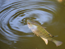 Tilapia fish Royalty Free Stock Photography