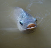 Tilapia fish Swimming Royalty Free Stock Image