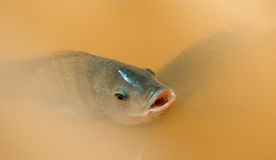 Tilapia fish Swimming Stock Photography