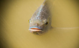 Tilapia fish Swimming Stock Photo