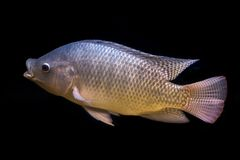 Tilapia fish in tank. Isolate on black background, selective focus stock photography