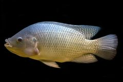 Tilapia fish in tank. Isolate on black background, selective focus stock image