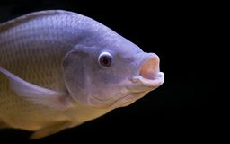 Tilapia fish in tank. Isolate on black background, selective focus stock photo