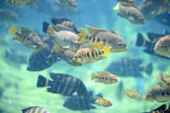 Tilapia Fish Underwater Royalty Free Stock Photography
