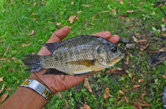Tilapia fish was showed  in a hand Stock Photo