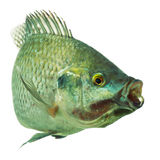 Tilapia Fish On White Stock Images