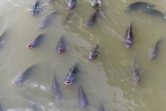 Tilapia fishs im braunen Wasser Lizenzfreies Stockbild