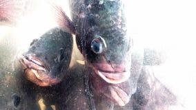 Tilapia fiskar i en behållare Arkivbilder