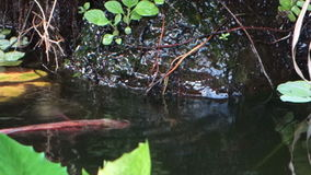 A tilapia guarding her babies in a tropical fish pond stock video footage