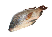 Tilapia isolated Stock Images