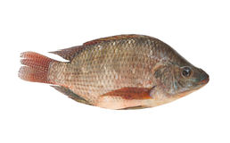Tilapia isolated Royalty Free Stock Photos