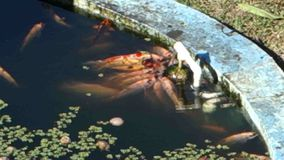 Tilapia and koi in a freshwater pond in the tropics. Colorful fish clustered around a pipe at an aquaponics project in the caribbean stock footage