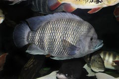 Tilapia length 50 cm in the aquarium Royalty Free Stock Photography